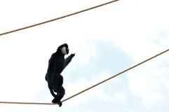 Gibbon monkey walking on rope Royalty Free Stock Image