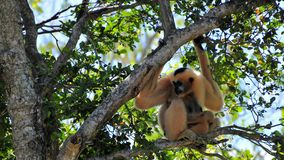 Gibbon monkey with young in tree Royalty Free Stock Photos