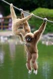 Gibbon monkeys Stock Photo