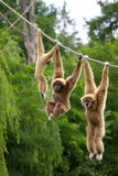 Gibbon monkeys. Gibbon monkey family hanging on rope stock photography