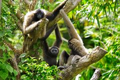 Gibbon monkeys. In Kota Kinabalu, Borneo, Malaysia royalty free stock photography