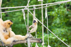 Gibbon mother and baby. Yellow-cheeked gibbon (Nomascus gabriellae) mother and baby stock photos