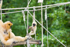 Gibbon mother and baby. Yellow-cheeked gibbon (Nomascus gabriellae) mother and baby royalty free stock image