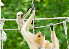 Gibbon mother and baby. Yellow-cheeked gibbon (Nomascus gabriellae) mother and baby royalty free stock photos