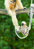 Gibbon mother and baby. Yellow-cheeked gibbon (Nomascus gabriellae) mother and baby stock photography
