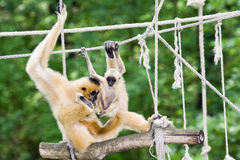 Gibbon mother and baby. Yellow-cheeked gibbon (Nomascus gabriellae) mother and baby stock images