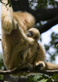 Gibbon mother and baby. Yellow-cheeked gibbon (Nomascus gabriellae) mother and baby stock image