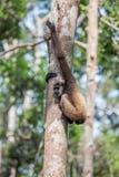 Gibbon na floresta em Bornéu fotos de stock