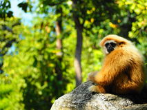 Gibbon na rocha Fotos de Stock Royalty Free