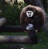 Gibbon nella cattività Fotografia Stock Libera da Diritti
