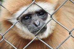 Gibbon nella gabbia Fotografia Stock Libera da Diritti