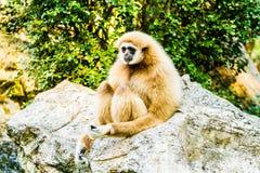 Gibbon no chiangmai Tailândia do jardim zoológico do chiangmai fotos de stock