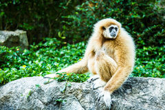 Gibbon no jardim zoológico do chiangmai, chiangmai Tailândia imagens de stock royalty free