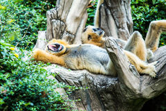 Gibbon no jardim zoológico do chiangmai, chiangmai Tailândia imagem de stock