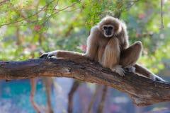Gibbon o Lar Gibbon blanco en el árbol Fotos de archivo libres de regalías