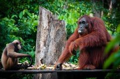 Gibbon och ett Orangutang sammanträde som tillsammans äter royaltyfri bild