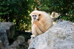 Gibbon osamotniony na skale Obrazy Royalty Free