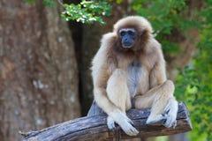 Gibbon ou Lar Gibbon blanc sur l'arbre Photos libres de droits