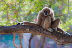 Gibbon ou Lar Gibbon branca na árvore Fotos de Stock Royalty Free
