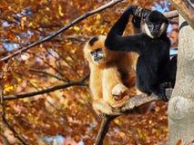 Gibbon-Paare mit Kind Stockfotografie