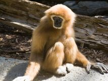 Gibbon passato bianco fotografia stock libera da diritti
