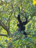 Gibbon Stock Photos