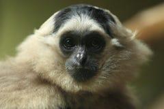 Gibbon Pileated Стоковая Фотография