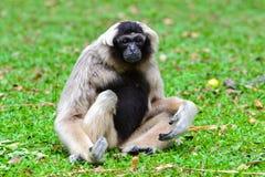 Gibbon Pileated (pileatus Hylobates) Стоковая Фотография