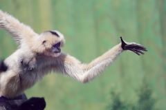 A gibbon is playing royalty free stock photos