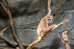 Gibbon portrait Stock Photography