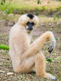 Gibbon pose Royalty Free Stock Images