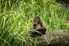 Gibbon que cola a língua para fora na grama Imagens de Stock Royalty Free