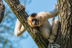 Gibbon que se sienta en la rama de árbol que parece triste fotos de archivo