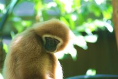 Gibbon relaxing stock photography