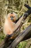 Gibbon Royalty Free Stock Photography