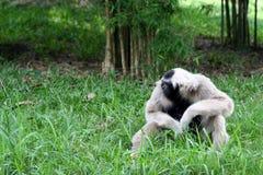 Gibbon só Imagens de Stock