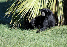 Gibbon. Seating on the grass Stock Photo