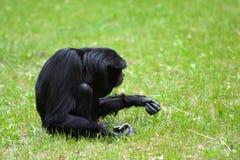 Gibbon seul de Siamang dans l'herbe Image stock