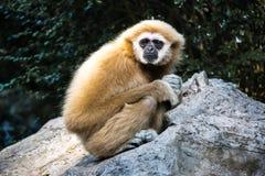 Gibbon seul sur la roche photo stock