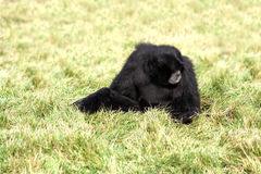 gibbon siamang Στοκ εικόνα με δικαίωμα ελεύθερης χρήσης