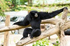 gibbon siamang Στοκ Εικόνα