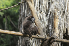 Gibbon Siamang Стоковые Фото