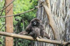 Gibbon Siamang Стоковая Фотография