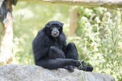 Gibbon Siamang Стоковое Изображение RF