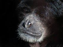 Gibbon Siamang Стоковое Фото