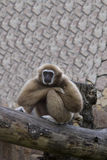 The gibbon sits having reflected Royalty Free Stock Images
