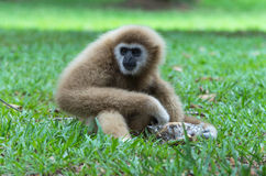 Gibbon sitting on the grass in the forest Stock Images