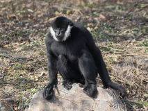 Gibbon sitting on the rock Royalty Free Stock Photos