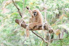 Gibbon sitting on a swing. Royalty Free Stock Photography