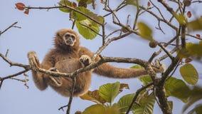Lar Gibbon Sitting on Top Of Tree. Lar gibbon, aka, white-handed gibbon, Hylobatidae,, is sitting on top of tree and looking around at Kaeng Krachan National Stock Photo
